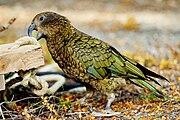 Nestor notabilis -Fiordland National Park-8a.jpg