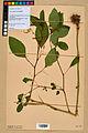 Neuchâtel Herbarium - Impatiens noli-tangere - NEU000019947.jpg