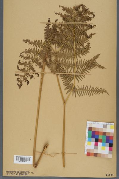 File:Neuchâtel Herbarium - Pteridium aquilinum - NEU000000722.tiff