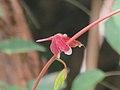 Neurothemis fulvia (40282554544).jpg