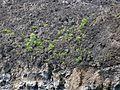 New lava veg (3450343132).jpg