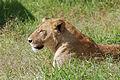 Ngorongoro 2012 05 30 2591 (7500981960).jpg