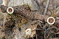 Nidula niveotomentosa (Henn.) Lloyd 313905.jpg