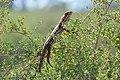 Nitre bush and dragon from NatureShare.jpg