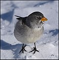 Niverolle alpine Montifringilla nivalis (32056735697).jpg