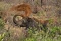 Nkomazi Game Reserve, South Africa (22031684773).jpg