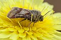 Noctuid moth - Flickr - aspidoscelis.jpg