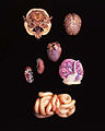 Normal Specimens which have been preserved through Plastination.jpg