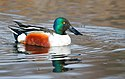 NorthernShoveler-24JAN2016.jpg