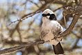Northern White-crowned Shrike, Serengeti (28153173030).jpg