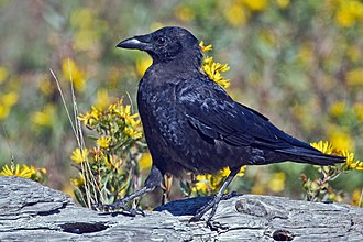 Northwestern crow - Image: Northwestern Crow