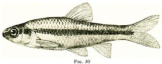 Blackchin shiner Species of fish