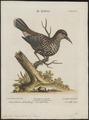 Nucifraga caryocatactes - 1700-1880 - Print - Iconographia Zoologica - Special Collections University of Amsterdam - UBA01 IZ15700165.tif