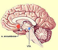 Nucleus accumbens.jpg