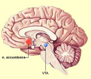 Position of the nucleus accumbens and Ventral ...