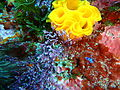 Nudibranch egg mass, South East Bay, Three Kings Islands PA121445.JPG