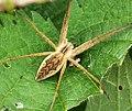 Nursery web spider Pisaura mirabilis (31092961868).jpg