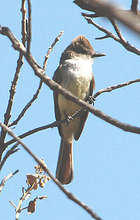 Nutting's Flycatcher.jpg