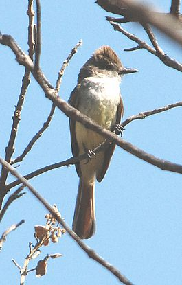 Nutting's Flycatcher.jpg