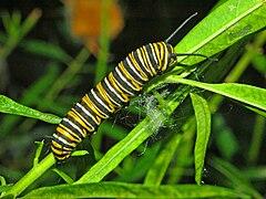 Nymphalidae - Danaus plexippus Caterpillar.JPG