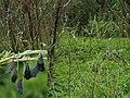 Nymphalis xanthomelas - Yellow-legged tortoiseshell (pupae; outbreak) (40257367745).jpg