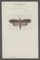 Nystalea - Print - Iconographia Zoologica - Special Collections University of Amsterdam - UBAINV0274 060 06 0002.tif