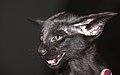 OSH Margosha of Marikacats (14004309389).jpg