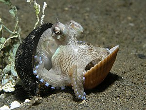 Octopus marginatus.jpg