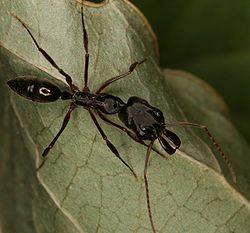 Odontomachus brunneus worker.jpg