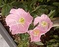 Oenothera speciosa - οινοθήρα.jpg