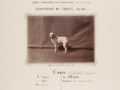 Old English Terrier with cropped ears, 1863.2.png
