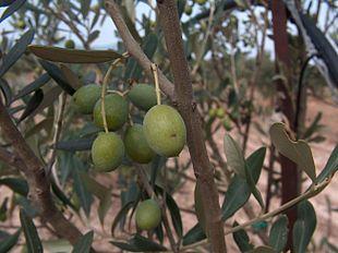 Cultivar di olivo wikipedia - Tipi di olive da tavola ...