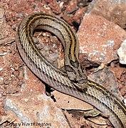 Oligodon taeniatus (Günther, 1861) Striped Kukri Snake (16175431667).jpg