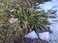 On dirait une touffe d'herbe encore verte de l'an passé sur mon gazon. (5645457470).jpg