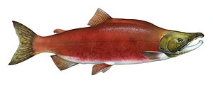 English: Sockeye salmon (Oncorhynchus nerka) f...