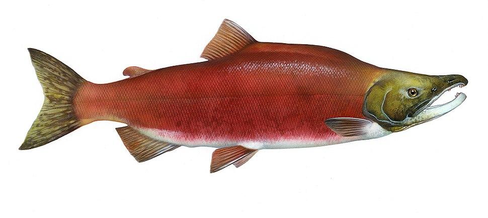 Oncorhynchus nerka