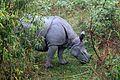 One horned Rhinoceros.jpg