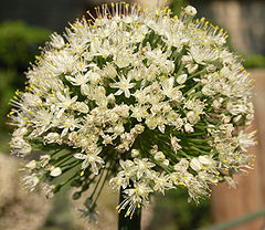 Onion Flower Head.jpg