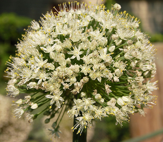 File:Onion Flower Head.jpg