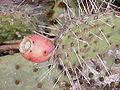 Opuntia phaeacantha0.jpg