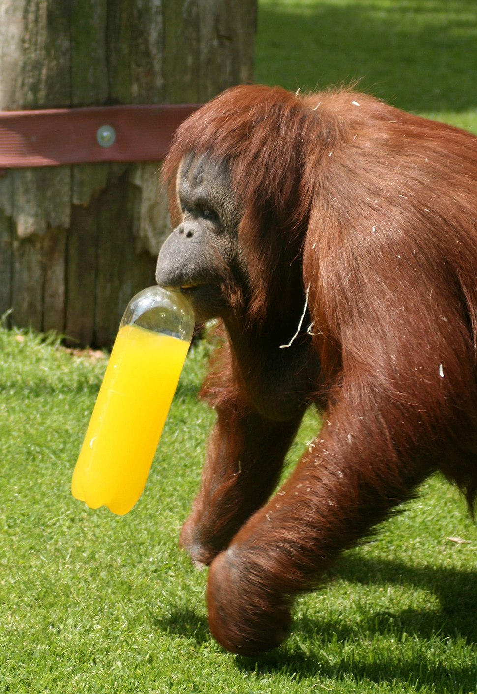 Orangutan (Pongo pygmaeus) at Twycross Zoo-4