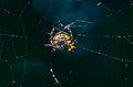 Orb Web Spider (Araneidae) yellow underside (14490683008).jpg