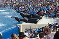 OrcaShow SeaWorld 3.jpg