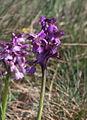 Orchis morio, Kleines Knabenkraut IMG 7498.JPG
