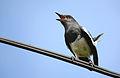 Oriental Magpie Robin - (Copsychus saularis).JPG