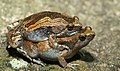 Ornate narrow-mouthed frog-Microhyla ornata.jpg