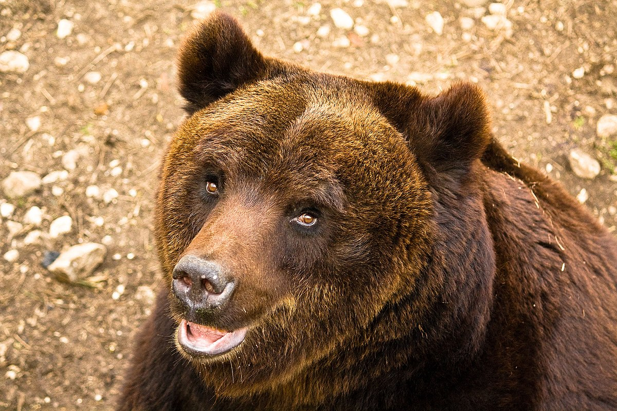 Marsican brown bear - Wikipedia