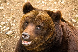 Marsican brown bear