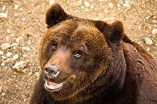 Marsican brown bear Abruzzan subspecies of Brown bear