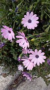 Osteospermum - Οστεόσπερμο ή διμορφοθήκη 01.jpg